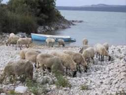 Ovce na břehu jezera